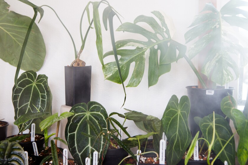 The popular white variegated monstera, far top right, at Leaf and Spine.