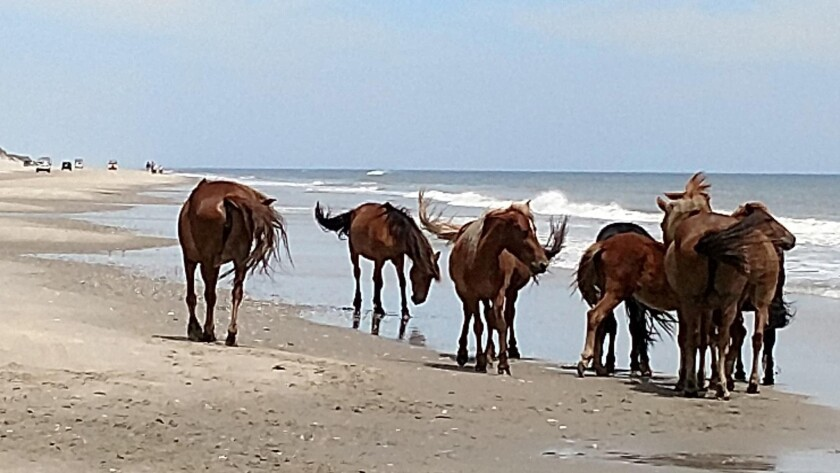 FILE - In this June 6, 2019 file photo, Corolla wild horses gather on the Currituck Outer Banks beach, in N.C. A beloved wild horse that was one of the oldest mares in the herd that roams North Carolina's Outer Banks has died, officials said, Sunday, Aug.1, 2021. The horse's death came when the National Weather Service said some areas of the Outer Banks saw heat index values near 110 degrees Fahrenheit (43 degrees Celsius). (Jeff Hampton/The Virginian-Pilot via AP)