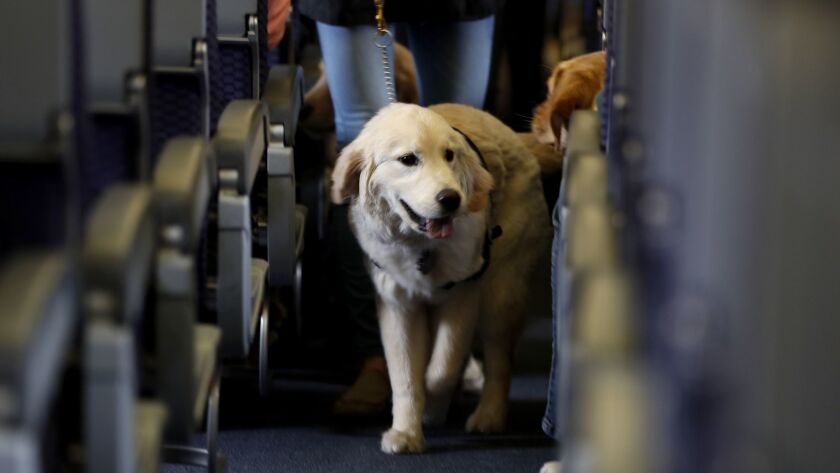 A service dog strolls through the aisle inside a United Airlines plane at Newark Liberty International Airport.