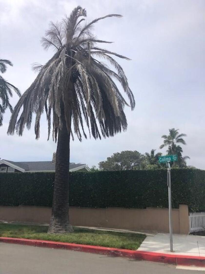 These palm trees on Colima and Beaumont streets in La Jolla are wilting.