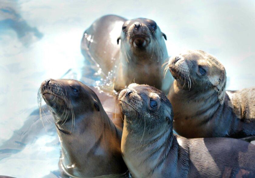 California sea lions rehab in a newly created pool at SeaWorld San Diego.