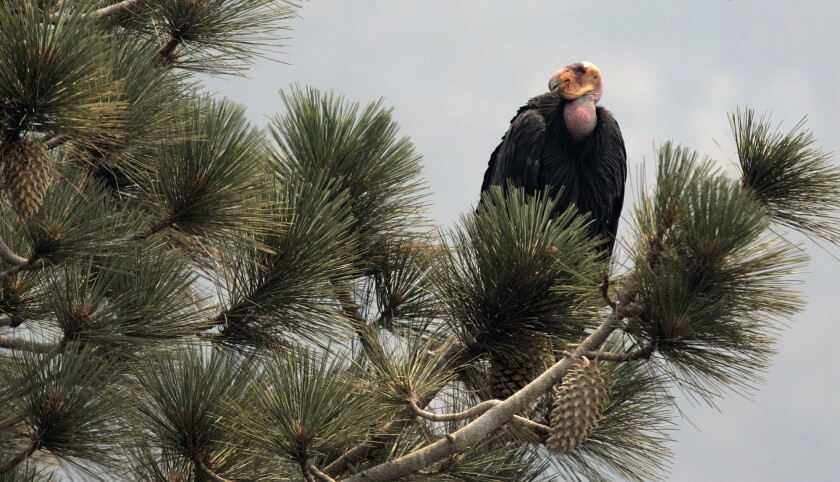 California condor in the Los Padres National Forest