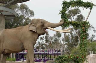 50-year-old elephant euthanized at San Diego Zoo