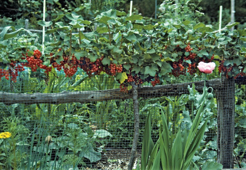 Gardening Espalier Red Currants