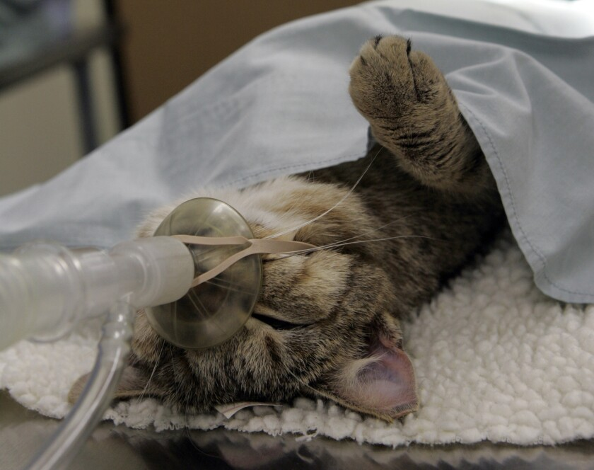 A feral cat ready to be fixed lies on the operating table at Fix Nation Inc. a nonprofit organization full–time spay/neuter clinic in Sun Valley for homeless, stray and feral cats. Los Angeles County will require residents of unincorporated areas to spay or neuter and microchip their cats.