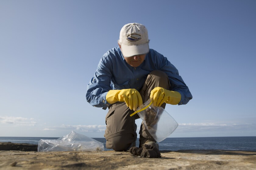 Biologist Mark Lowry collects sea lion and elephant seal scat.