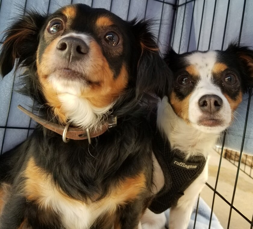 Adoptable dogs from the Howl-O-Ween Hounds event in 2019. This year's adoption event will be Oct. 16 at Grossmont Center.