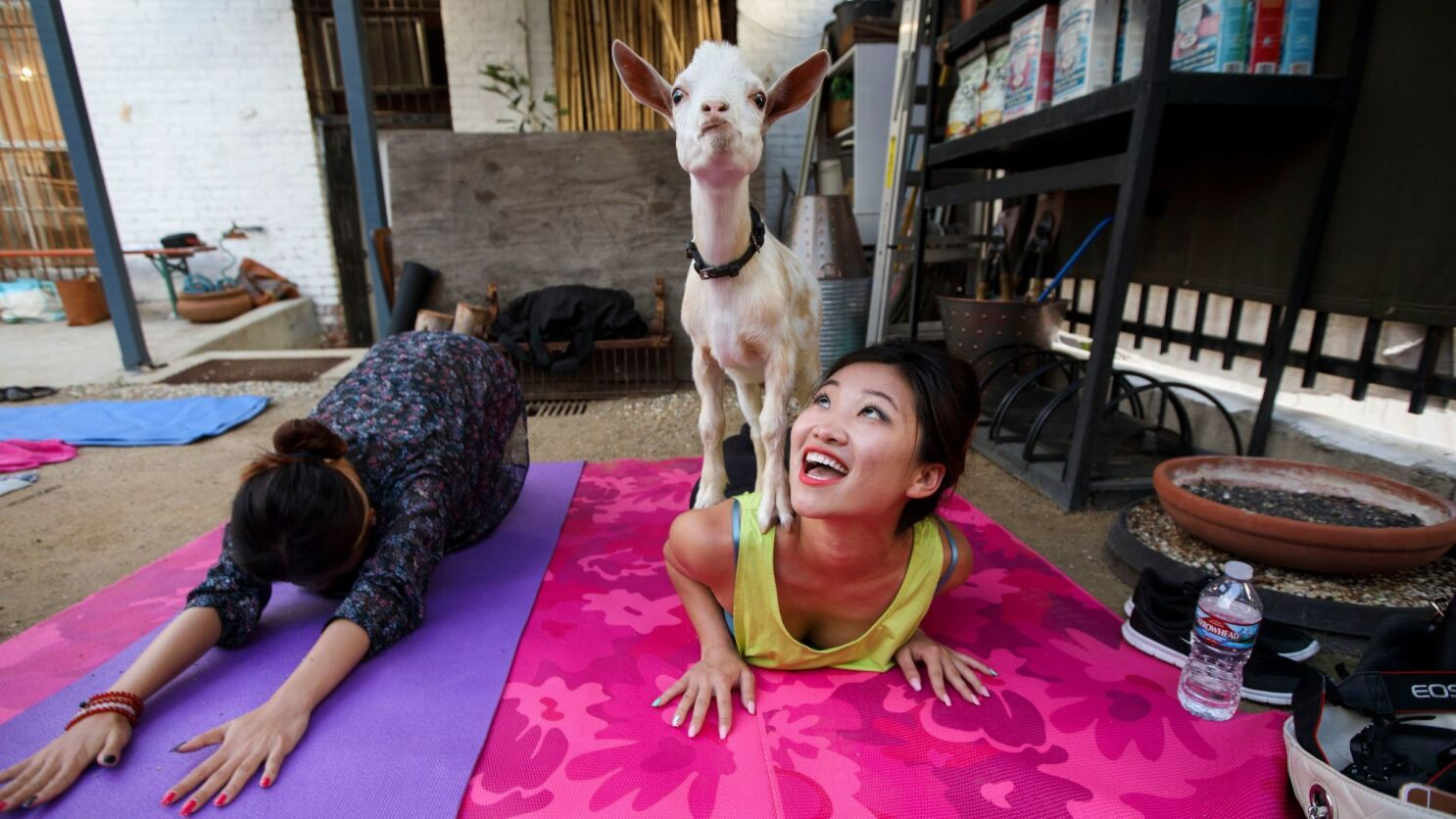 In Goat Yoga The Point Isn T To Sweat It S To Have A Baby Goat Climb On Your Shoulders During Your Plank Los Angeles Times