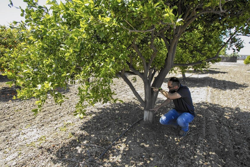 Darren Haver of the South Coast Research and Extension Center at a pixie mandarin orange tree.