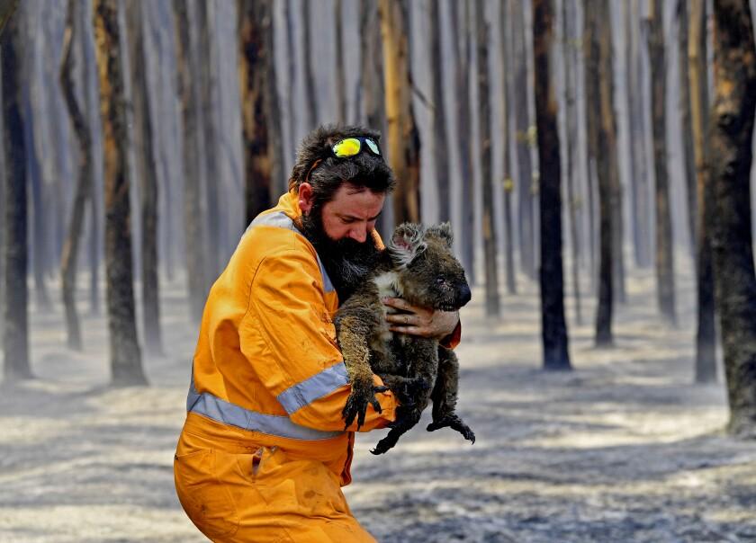Adelaide wildlife rescuer Simon Adamczyk holds a koala he rescued at a burning forest on Kangaroo Island, Australia.