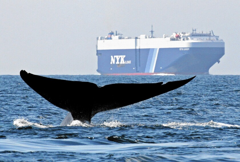 A blue whale and a cargo ship pass through the Santa Barbara Channel. A test program aims to reduce collisions.