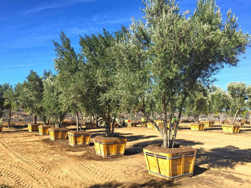 Olive trees, with their silvery leaves, are very durable to extreme temperatures and, once established, require a minimal amount of water.