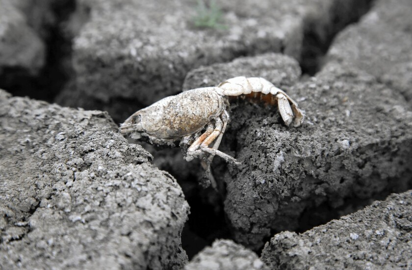 A dead crayfish sits atop dried earth that used to be a pond in L.A.'s only designated nature preserve, in Chatsworth. The pond had teemed with wildlife for seven decades but today is a shallow sump surrounded by mud and littered with the skeletons of mostly invasive aquatic species that died as the water receded.