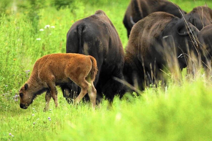 Bison calves stay near their mothers as they walk with the herd at the Nachusa Grasslands prairie restoration site in Franklin Grove, Ill.