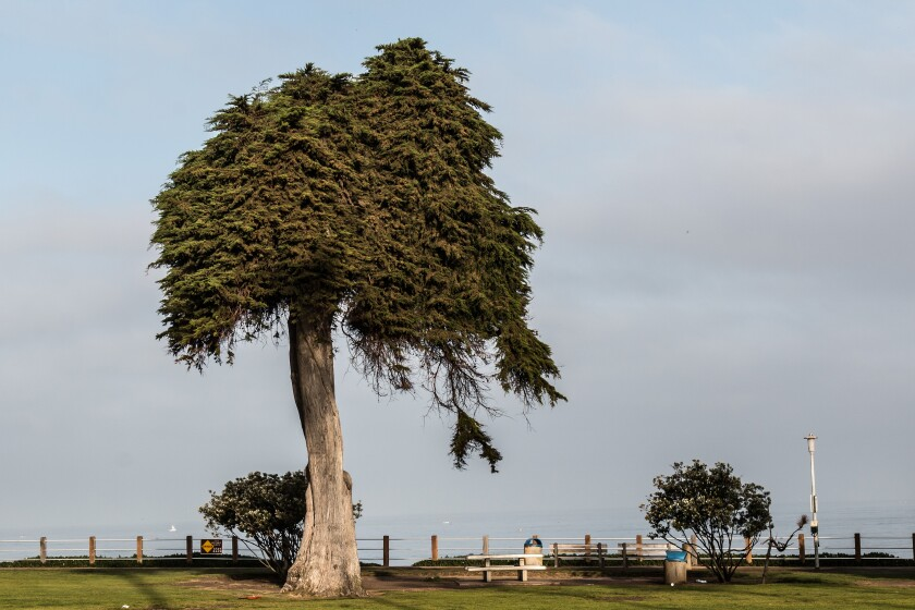 The 'Lorax Tree' was a Scripps Park landmark for at least 80 years.