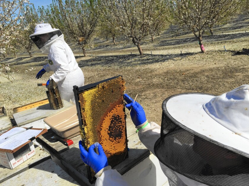 Nathalie Steinhauer, left, a doctoral student at the University of Maryland, and master's student Meghan McConnell collect samples of live bees and pollen from an almond orchard south of Bakersfield.