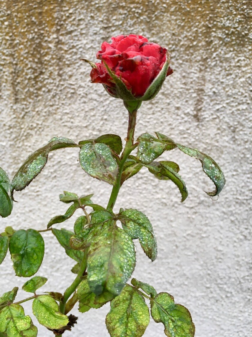 By the time you start to notice damage to your roses from chilli thrips, the pest is already established in your yard.