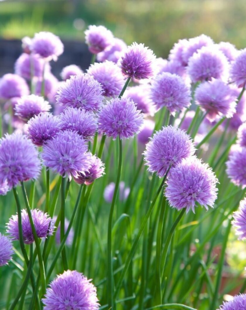 Chives, which produce flowers in spring, make a charming edging plant for kitchen gardens.