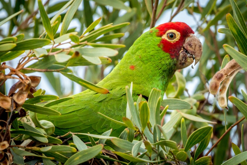 A red-masked parakeet in Point Loma.