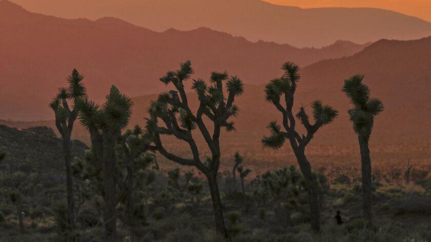 JOSHUA TREE NATIONAL PARK ,CA., APRIL 6, 2019: A stand of Joshua Trees form a unique silhouette agai
