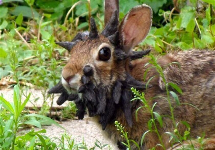 """This June 26, 2013 photo provided by Gunnar Boettcher shows a rabbit that Boettcher dubbed """"Frankenstein"""" with what looks like a series of horns growing out of its head outside his home in Mankato, Minn. Boettcher and his brother put together a video entitled """"The World's Scariest Rabbit,"""" which has attracted thousands of Internet viewers. Boettcher thinks the rabbit might have a papilloma virus that's a form of cancer. A Minnesota Department of Natural Resources spokesperson says he suspects t"""