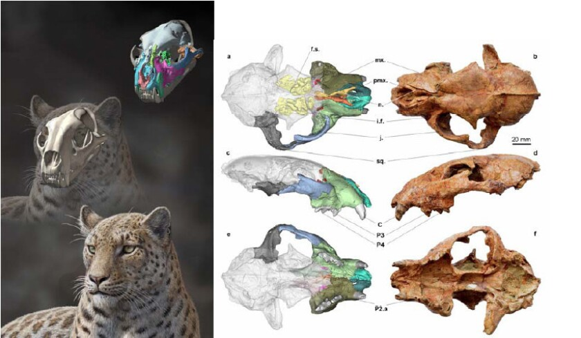 An artist's reconstruction of Panthera blytheae, left, was based on skull data, right.