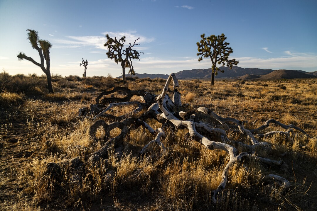 Dead and living Joshua trees in a desert.