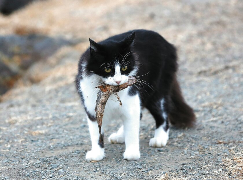 A feral cat carries its catch of the day in its mouth. The feline belongs to a feral cat colony located along Mission Bay.