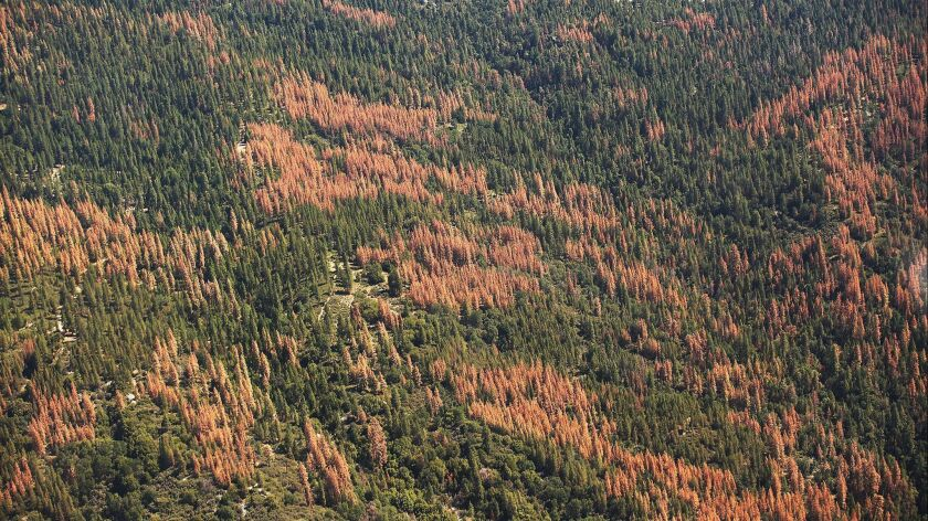 BIG CREEK, CA - JULY 28, 2015: Large swaths of brown dead trees contrast against the green of the li