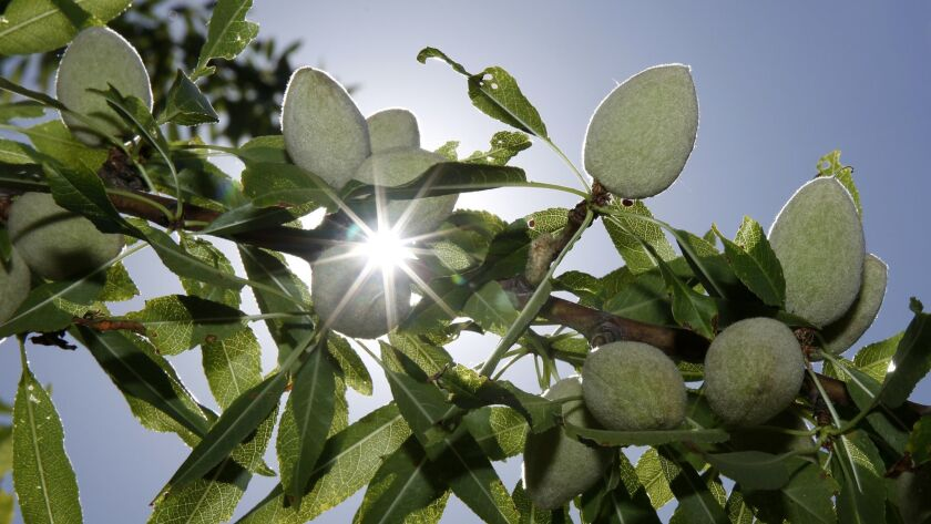 Almonds, coated in their fuzzy green hulls, grow on a tree at Wenger Ranch in Modesto.