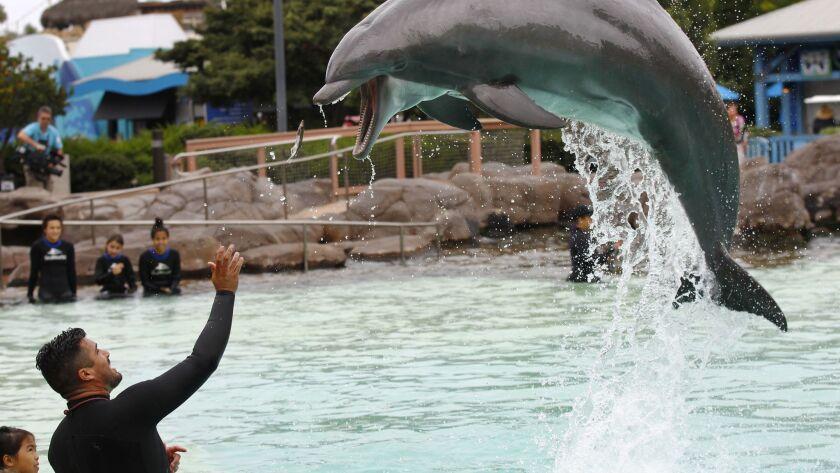 Trainer Jorge Villa feeds a dolphin at SeaWorld San Diego.