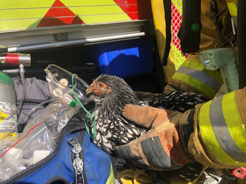 Members of the Ventura County Fire Department rescued and revived seven chickens that suffered smoke inhalation during a fire