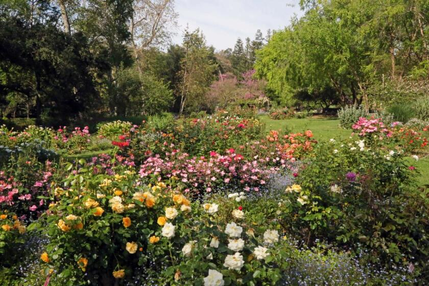 Roses are in bloom at Descanso Gardens, which plans to reopen Saturday.