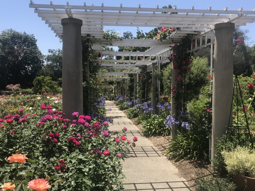 Roses and agapanthus in full bloom in the Huntington's rose garden on June 30.