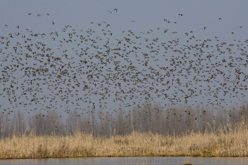 Migratory birds fly above wetlands in Hokersar,16 kilometers (10 miles) north of Srinagar, Indian controlled Kashmir, Tuesday, Feb. 16, 2016. Waterbirds cover tens of thousands of kilometers every year during their annual migratory cycle. Every year International Waterbird Census (IWC) is conducted