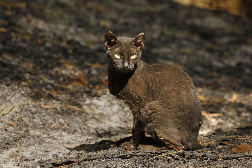 A charred cat with whiskers burned off waits for food at a home in Berry Creek.