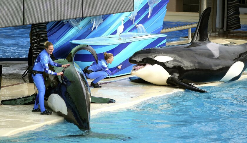 SeaWorld San Diego's signature killer whale show will be phased out in 2016 and replaced with a new orca experience, the Orland-based company announced Monday.