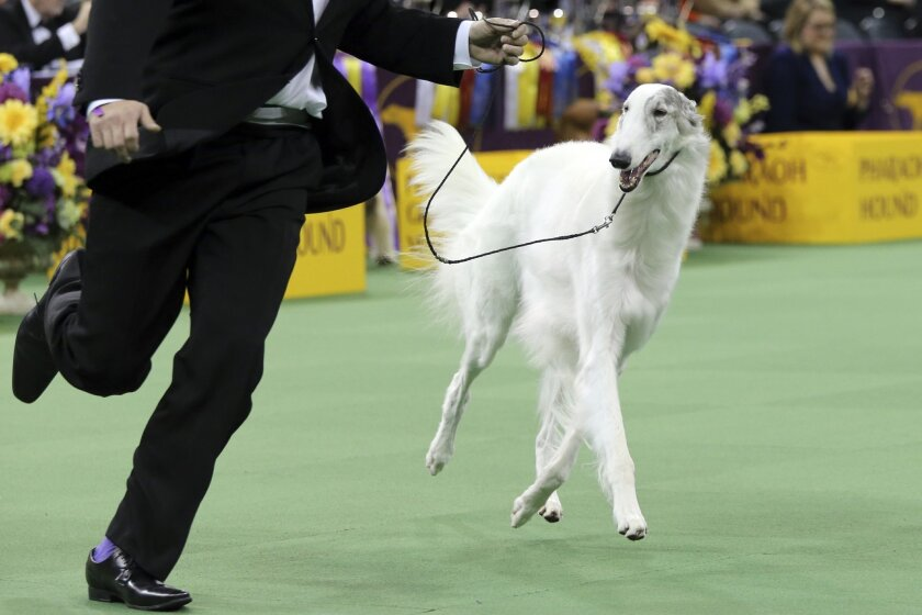 Lucy, a Borzoi, is shown in the ring during the Hound group competition during the 140th Westminster Kennel Club dog show, Monday, Feb. 15, 2016, at Madison Square Garden in New York. Lucy won best in hound group. (AP Photo/Mary Altaffer)