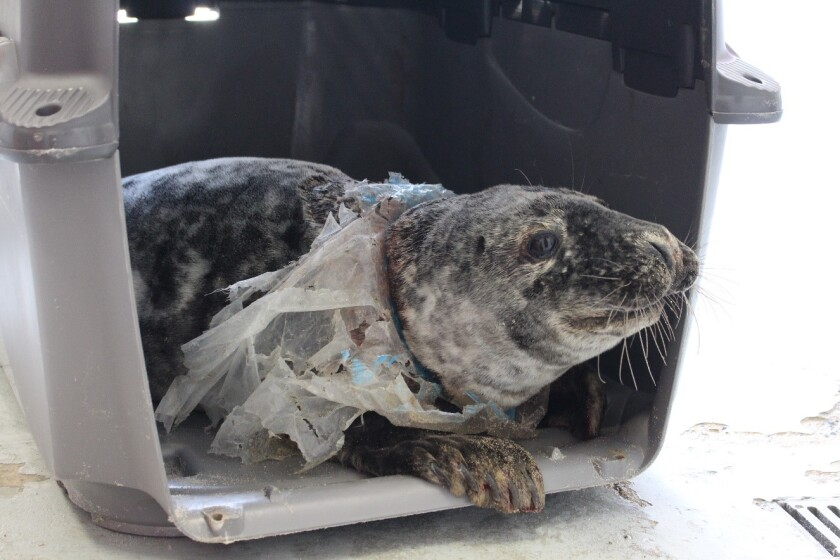 A rescued gray seal entangled in a plastic bag