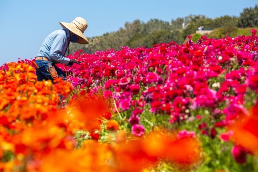 A worker picks flowers for bouquets at the Carlsbad Flower Fields.