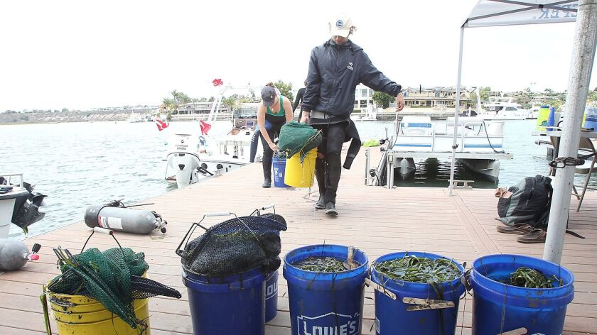 Volunteer divers bring in eel grass collected from a lagoon at Linda Isle on Thursday. The Orange Co