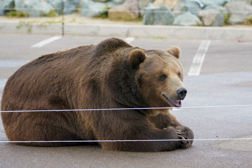Tag, a Kodiak bear, rests during a press conference by gubernatorial candidate John Cox at Shelter Island on May 11.