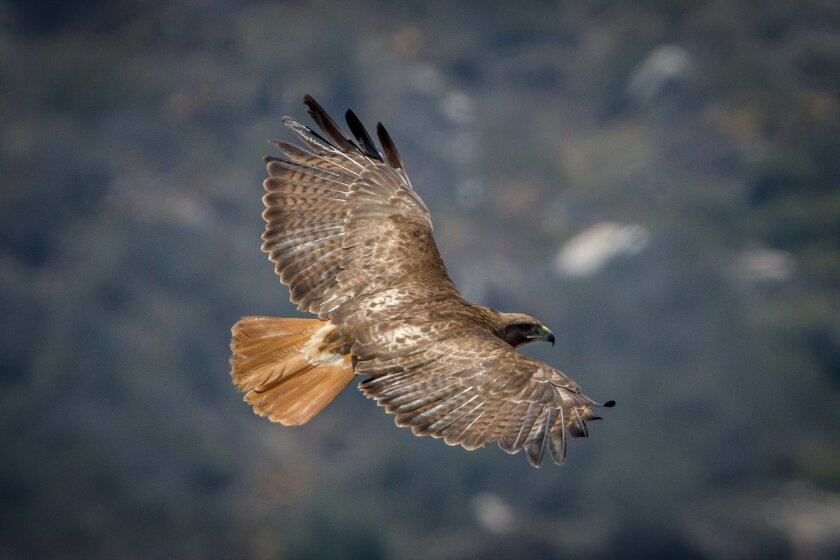 The adult red-tailed hawk has a distinctive broad red tail that makes it easy to identify.