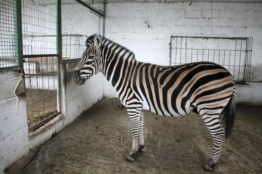 A zebra at Safari Zoo Park in Mbrostar, about 100 kilometers (60 miles) south of Tirana, Sunday, Oct. 28, 2018.