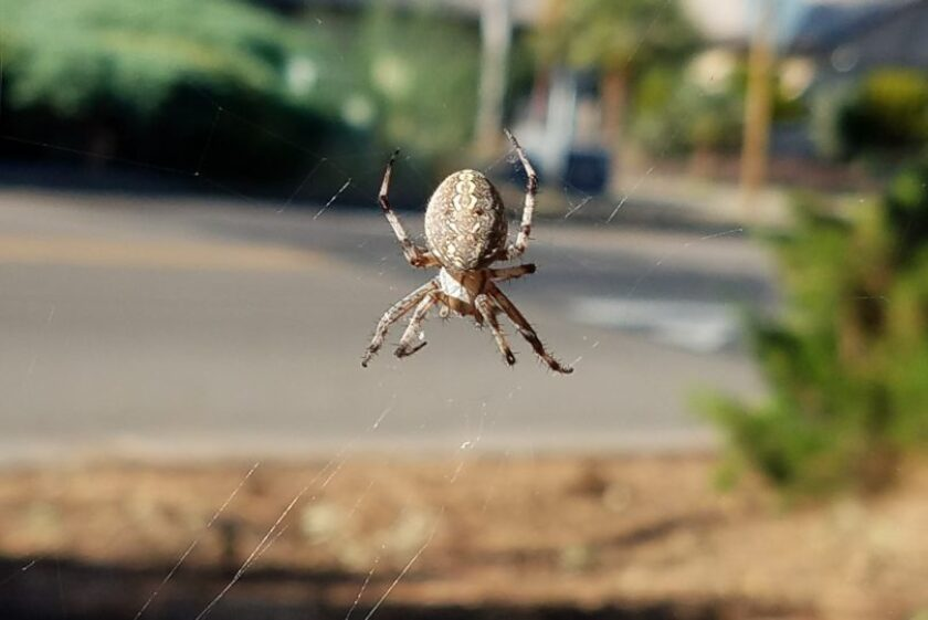 Orb-Weaver-Spider-1-for-CNC-809x540.jpg
