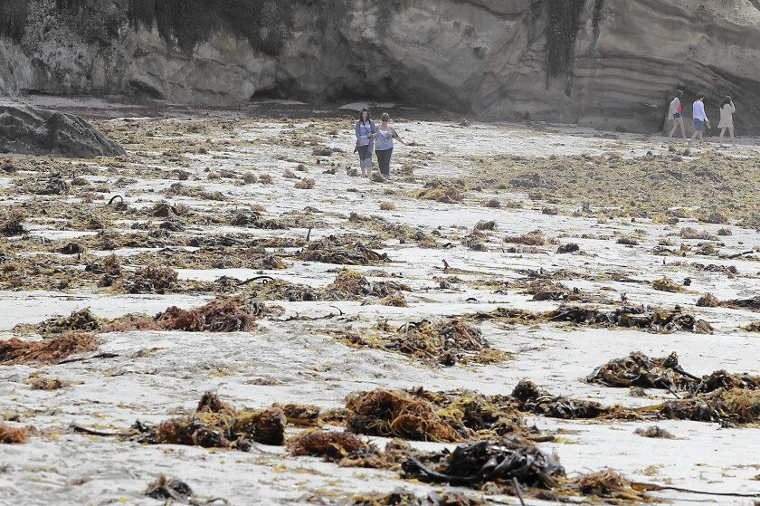 Pearl Street beach is covered with kelp after a summer of big waves.