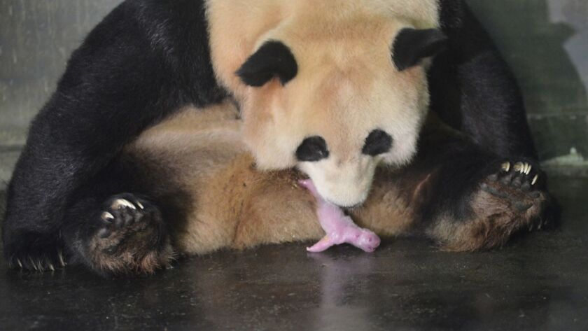 JULY 25: Giant Panda Caocao gives birth to a boy and a girl at Hetaoping Wolong Panda Center of Chi