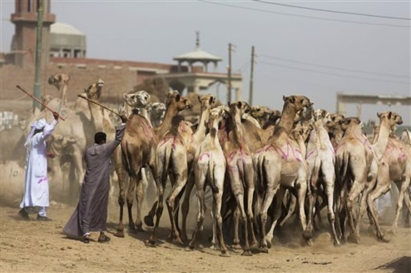 In this photo taken Friday, May 31, 2013, men steer camels at a weekly camel market in Birqash, Egypt. Scientists have found a clue that suggests camels may be involved in infecting people in the Middle East with the MERS virus. In a preliminary study published on Friday, Aug. 9, 2013, European scientists found traces of antibodies against the MERS virus in dromedary, or one-humped, camels, but not the virus itself. (AP Photo/Hiro Komae)