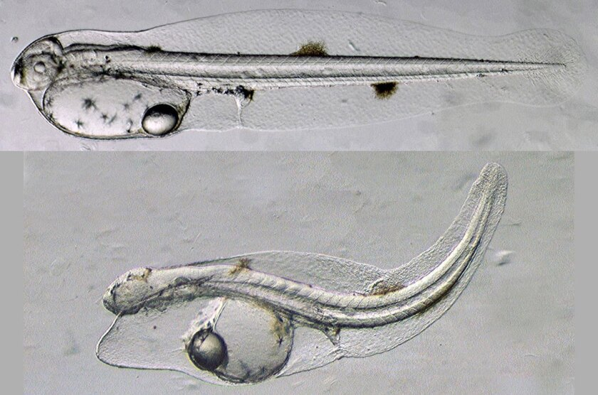 normal yellowfin tuna larva shortly after hatching (top), and a larva exposed to Deepwater Horizon crude oil  shows abnormalities.