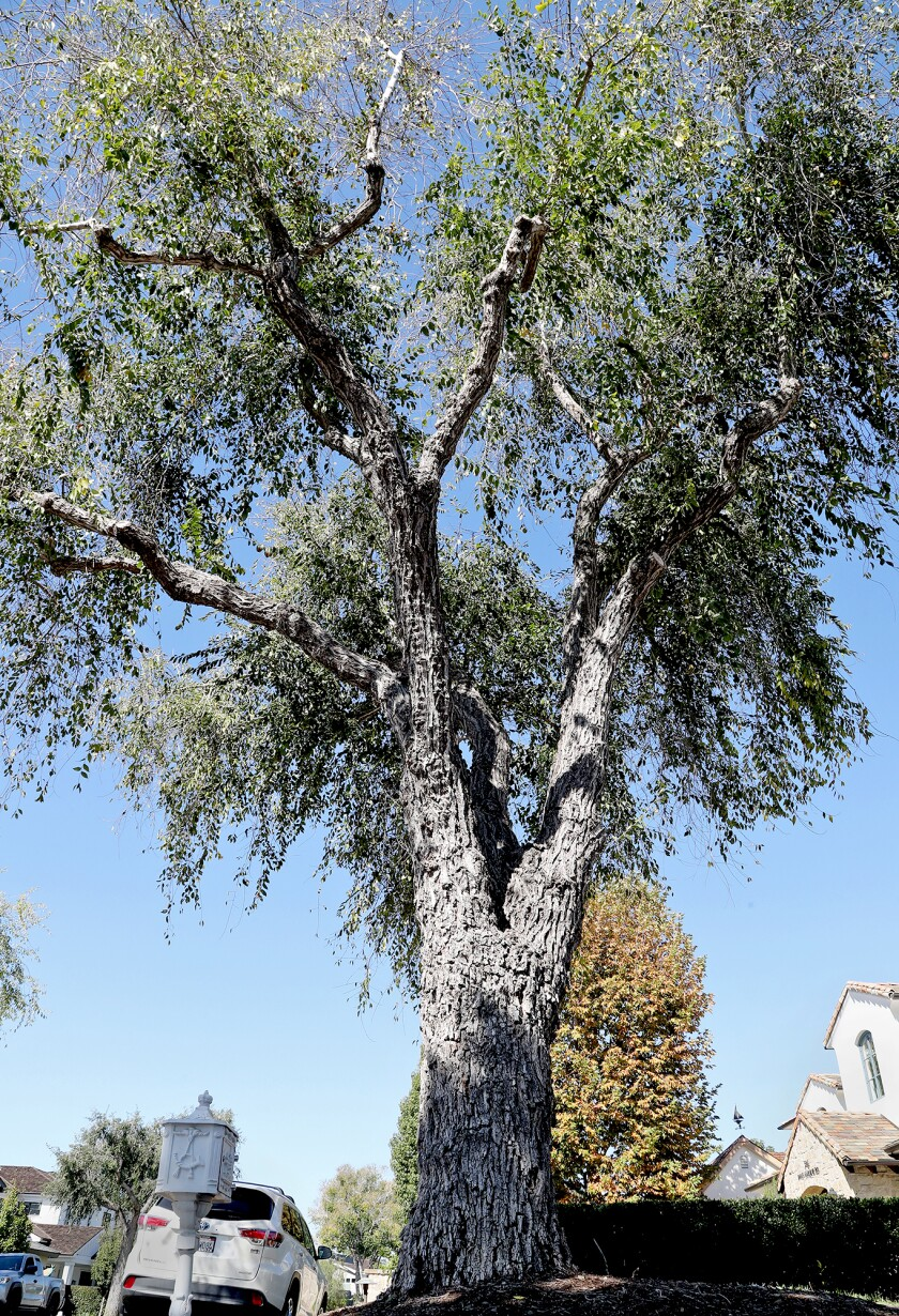The Parks, Beaches and Recreation Committee voted 5-1 to save this 70-year-old Siberian elm tree along Snug Harbor Road.